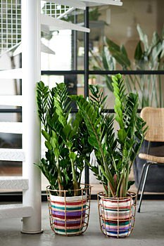 Zamioculcas houseplant january 2020 of the month inspiration home decoration interior plants trends Fleur Creatif flowers