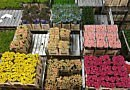 Royal FloraHolland calls on growers to supply fewer flowers | Coronavirus