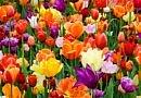 Walk through 250,000 tulips at Tulipalooza flower festival