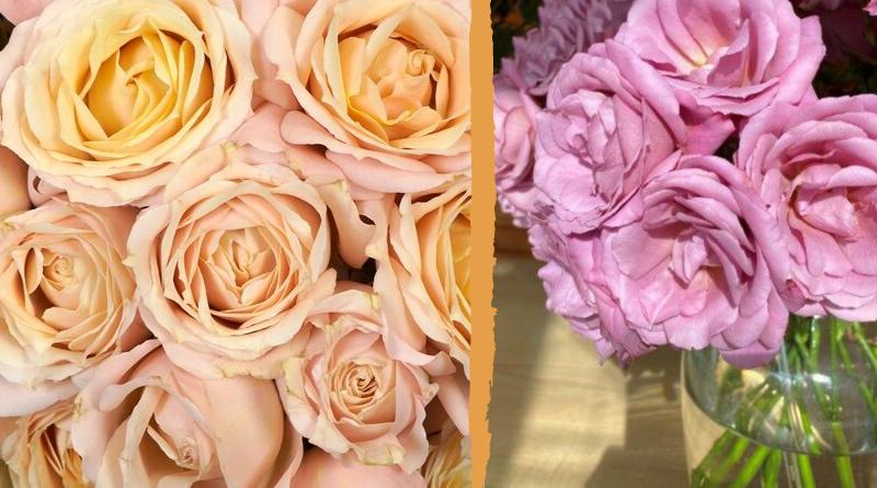 Fleur Creatif Magazine: Floral News: Alexandra Farm introduces nine new garden rose varieties.
